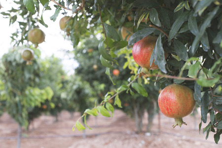 plant antioxidants: Pomegranate trees with fruits