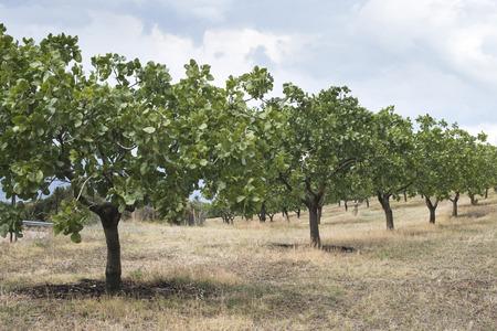 Pistachio trees in Greece. Pistachio plantation