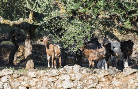 tame: Cabras Tame entre los olivos. La luz del sol