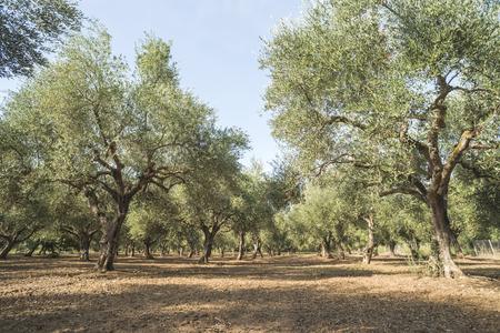 Olijfbomen in plantage. Landbouwgrond