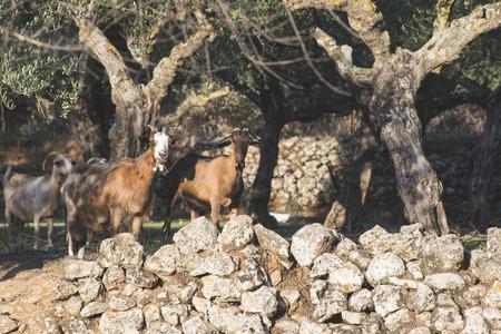 tame: Tame goats among the olive trees. Sun light Stock Photo