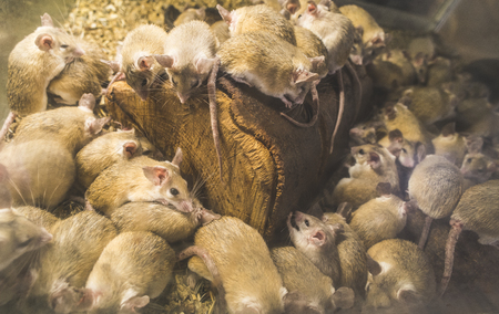Rats on wood in cell. Many rats Standard-Bild