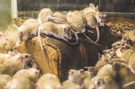 norvegicus: Rats on wood in cell. Many rats Stock Photo