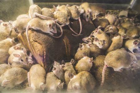 house mouse: Rats on wood in cell. Many rats Stock Photo