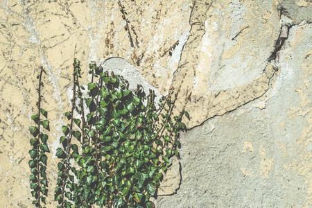 ivy hanging: Green hanging plants and wall. Sunlight Stock Photo