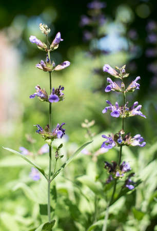 potherb: Flowering salvia(sage) in the garden. Stock Photo