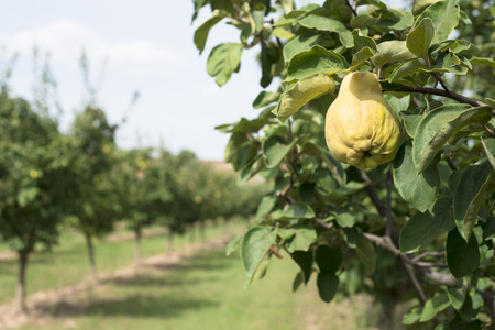 quinces: Quince orchard. Quince trees.