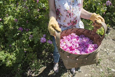 oilseed: Woman picking color of oilseed roses. Harvest roses.