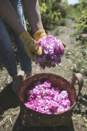 Woman picking color of oilseed roses. Harvest roses.