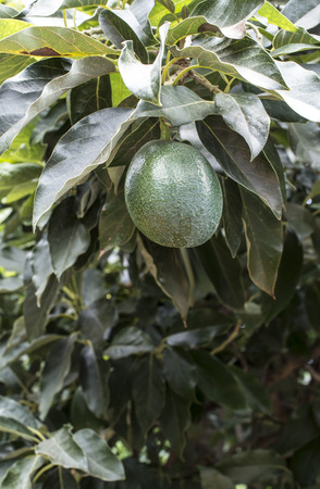 laden: Avocado on a branch. Laden with fruit