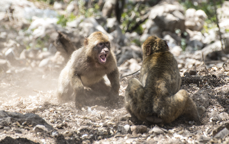 Barbary macaques who fight. Gibraltar