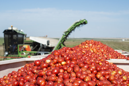 Harvester collects tomatoes in trailer. Close up pile tomatoes 스톡 콘텐츠
