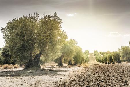 Olive trees at sunset. Sun rays Stock Photo
