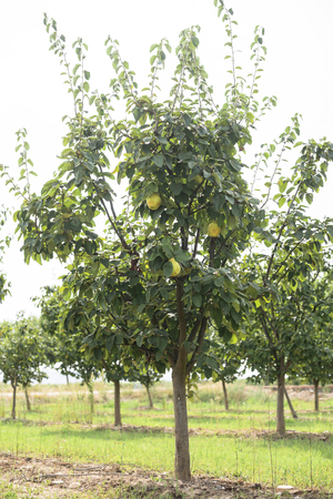 quince: Quince orchard. Quince trees.