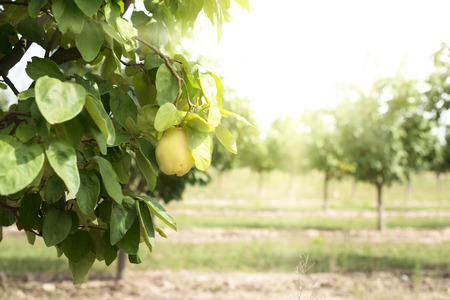 membrillo: Quince Orchard. Luz de sol.