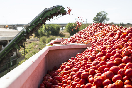 Harvester collects tomatoes in trailer. Close up pile tomatoes Stock Photo