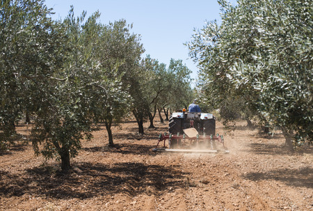 arando: Tractor and olive trees. Plowing the land