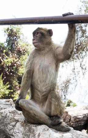 barbary: Barbary macaque monkey in Gibraltar Stock Photo