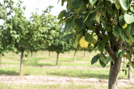 membrillo: Quince Orchard. membrillos.