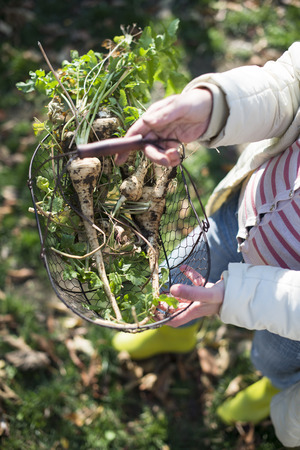parsnips: Woman hold parsnips in basket in the garden. Stock Photo