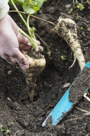 Close up parsnips in the garden. Woman pulls out parsnips.