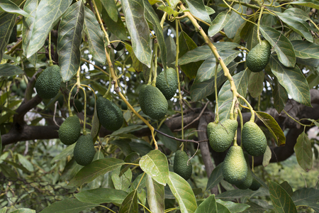 Aguacate en una rama. cargado con fruta Foto de archivo - 84671027