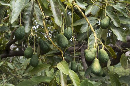 Avocado op een tak. Geladen met fruit