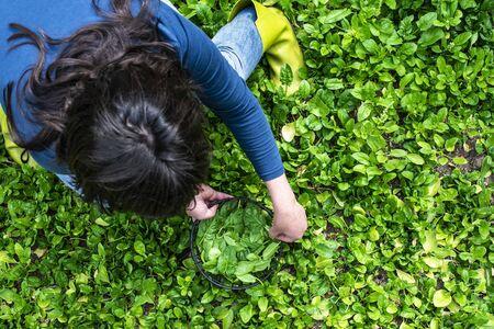 Woman picking spinach in organic farm. Stockfoto
