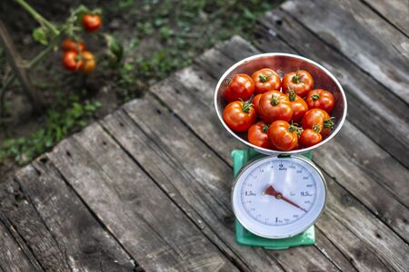 Tomatoes on scales in home organic garden. Measure tomatoes weight in the farm.