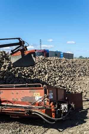 Machine harvest sugarbeet. Heap sugar beet in farm.