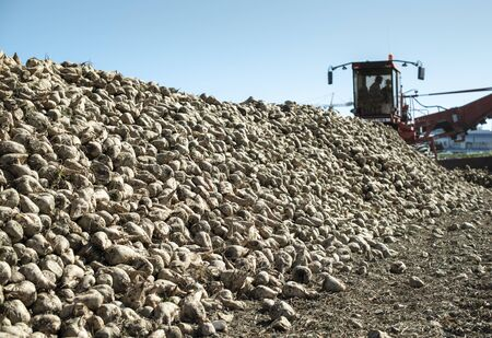 Machine harvest sugarbeet. Heap sugar beet in farm.