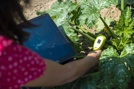 Farmer measure soil in Zucchini plantation. Soil measure device and tablet. New technology in agriculture concept. Stock Photo