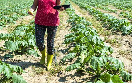 Farmer measure soil in Zucchini plantation. Soil measure device and tablet. New technology in agriculture concept. Stok Fotoğraf