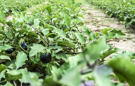 Eggplant on the field. Growing Eggplant in plantation.  Stock Photo