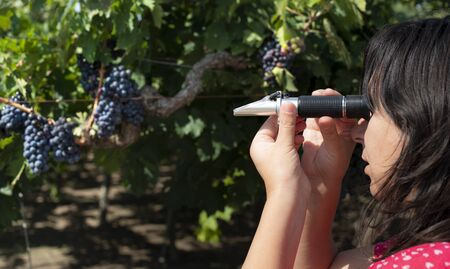 Farmer measures the sugar content of the grapes with refractometer. Device for measuring sugar in grape. Red grapes. Stock Photo