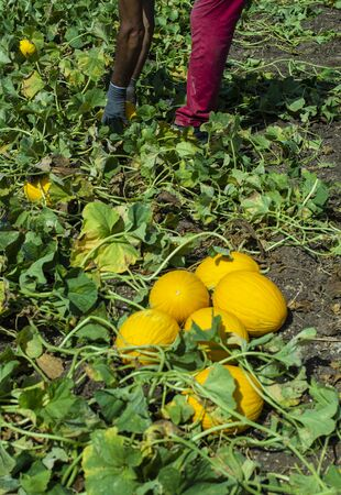 Harvest canary melons. Sunny day. Picking yellow melons in plantation.