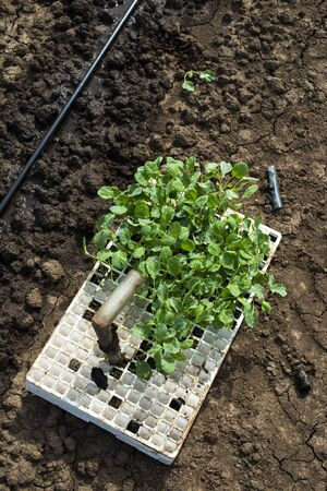 Seedlings in crates on the agriculture land. Planting new plants in soil. Big plantation. Planting broccoli in industrial farm.