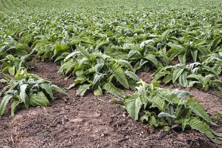 Artichoke industrial plantation in rows. Growing artichoke in a big farm. Standard-Bild