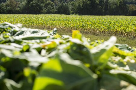 Tobacco plantation in rows. Growing tobacco leaves industrially. Sunlight.