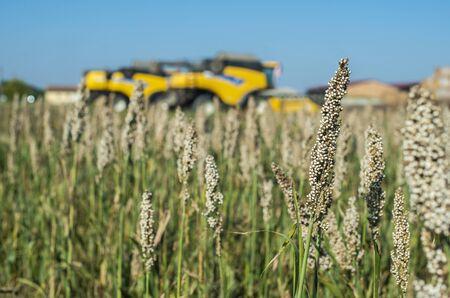 Harvester in Millet plantation. Bundles of millet seeds. Millet farm. Sorghum field. Other names include durra, Egyptian millet, feterita, Guinea corn, jowar, milo shallu and solam.