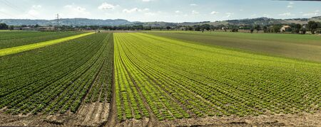Big lettuce plantation on rows outdoor. Industrial lettuce farm. Various plants. Panoramic image. Agriculture land on sunny day.