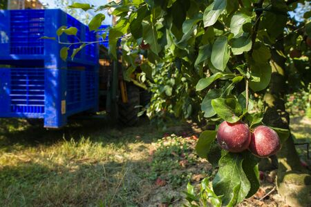 Harvest apples in big industrial apple orchard. Machine and crate for picking apples. Concept for growing and harvesting apples through automatization. Sunny day. Red apples in farm. Contemporary apple farm.