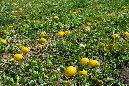 Melons in the field. Sunny day. Plantation with yellow melons in Italy. Big farm with melons. Stok Fotoğraf - 133834302