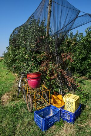 Crates in apple farm. Harvest apples in big orchard. Sunny day. Industrially growing apple trees. Standard-Bild