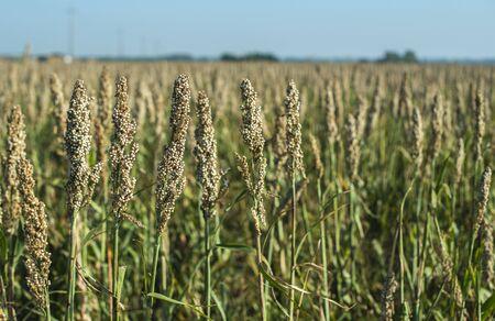 Millet plantations in the field. Bundles of millet seeds. Millet farm. Sorghum field. Other names include durra, Egyptian millet, feterita, Guinea corn, jowar, milo shallu and solam. Standard-Bild