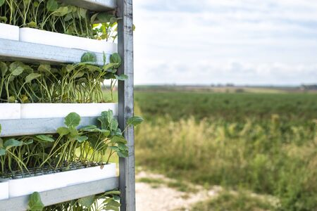 Seedlings in packages placed on shelving in the field. Concept for planting new plants on agriculture field. Standard-Bild