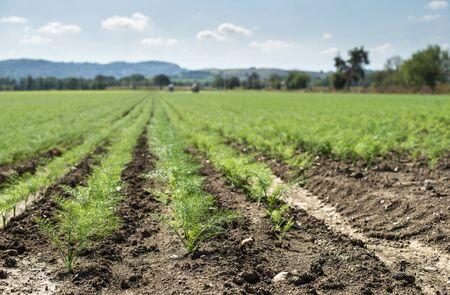 Koper włoski młode rośliny w rzędach. Grunty rolne z małymi roślinami kopru włoskiego. Duża farma. Zdjęcie Seryjne