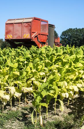 Harvesting tobacco leaves with harvester tractor. Tobacco plantation. Growing tobacco industrially. Sunlight.