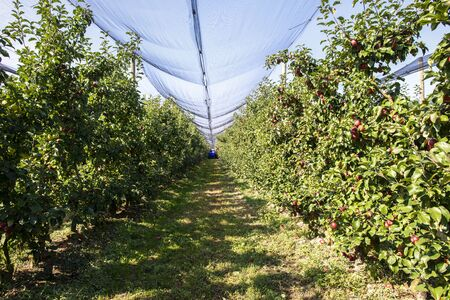 Harvest apples in big industrial apple orchard. Machine for picking apples. Concept for growing and harvesting apples through automatization. Sunny day. Red apples in farm. Contemporary apple farm.