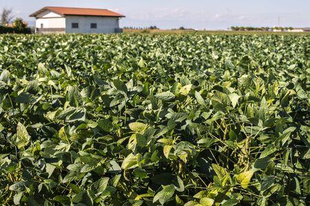Soya plantation. Italian Soyabean in farm. Growing Legumes. Sunny day. Standard-Bild